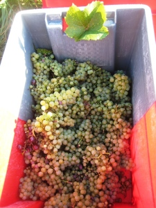 Savagnin grapes
