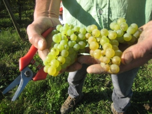 Jura Savagnin grapes