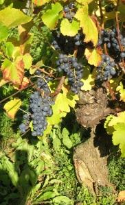 Trousseau grapes