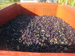 Trousseau grape berries