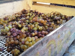 Vin de Paille dried grapes