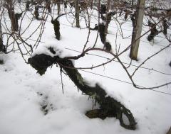 Old Jura vine