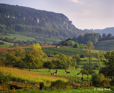 Jura cows and vines