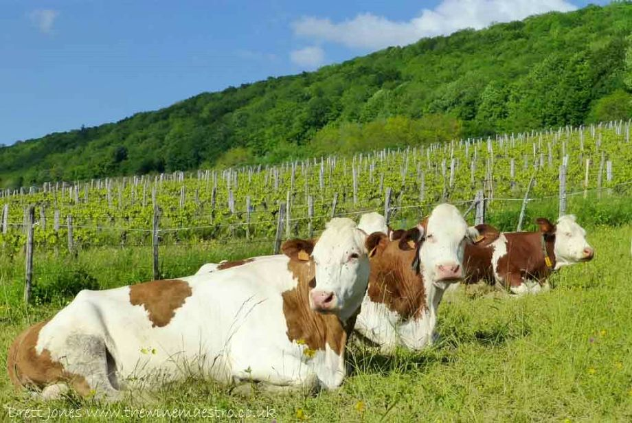 Montbéliarde cows and vines