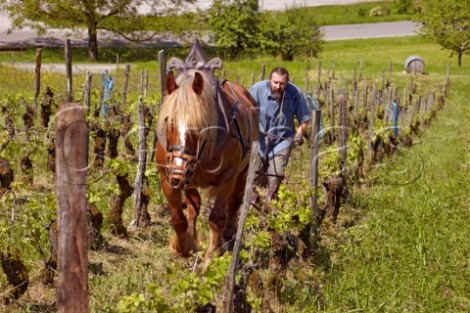 Horse plowing Jura vineyard